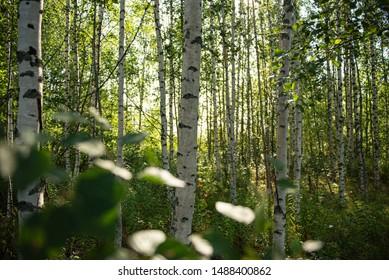 Birch Forest in Finnland in Summer