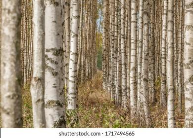 Birch forest. Birch Grove. White birch trunks. Autumn sunny forest. Sweden, selective focus