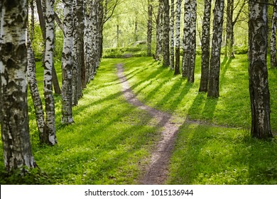Birch forest in May on a sunny day. Background in nature in the spring. Salad leaves are young and bright colors in springtime. Lawn with green grass and a pedestrian dirt path for walks