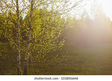 Birch forest in May on a sunny day. Background in nature in the spring. Green leaves are young and bright colors in springtime.