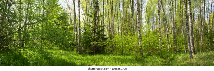 birch forest panorama in summer. Sun in the park