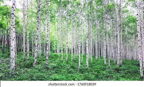 Birch forest in summer shining in silver, korea