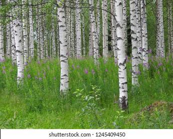 Birch forest in summer sunlight, Finland