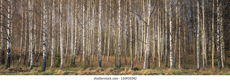 Birch forest in Sweden