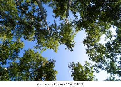 birch forest view from below into the sky