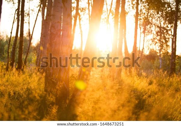 birch-forest-warm-sunlight-landscape-600