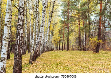 Birch forest with yellowed  leaves on the branches in the autumn of the year