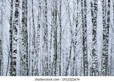 Birch grove after a snowfall on a winter cloudy day. Birch branches covered with stuck snow.