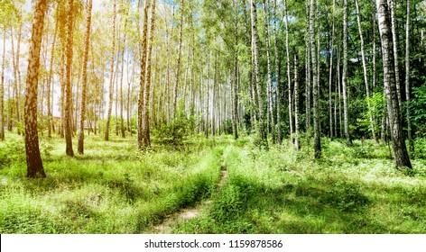 Birch Grove. Beautiful forest landscape. European nature.