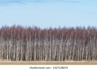 Birch grove by early springtime at the swedish island Oland