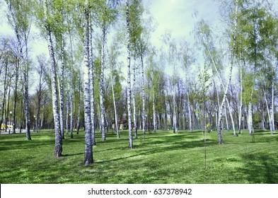 Birch grove. City Park. A bright, Sunny day. The trunks of the trees - Shutterstock ID 637378942