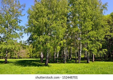 The birch grove at early summer time