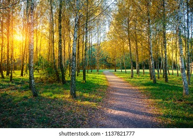 Birch grove and footpath between the autumn trees