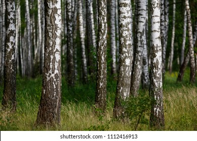 birch grove in the forest, Natural background - a summer birchwood, Beautiful landscape.