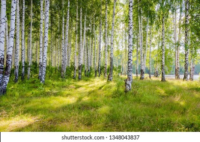 Birch grove on the river in the summer on a Sunny day, the edge of the forest with grass.