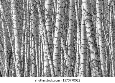 Birch grove on a spring day, landscape banner, huge panorama, black-and-white