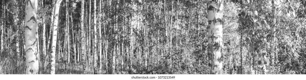 Birch grove on a sunny summer day landscape banner, huge panorama, black-and-white
