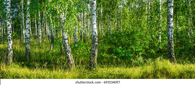 Birch grove on a sunny summer day landscape banner, huge panorama