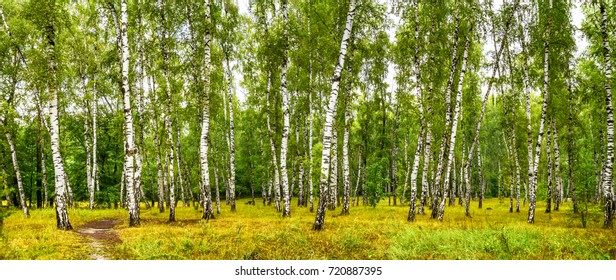 Birch grove with a road on sunny summer day, summertime landscape