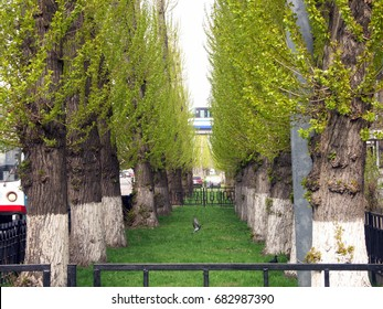 birch grove at spring in may