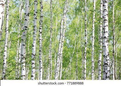 Birch grove in summer with beautiful white trunks of birches and green foliage