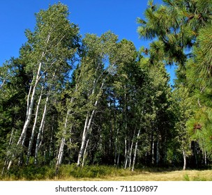 Birch Grove - Grove of birch trees at Black Butte Ranch near Sisters, OR
