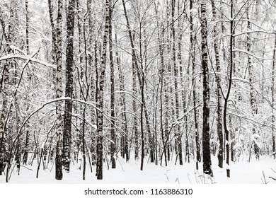 birch grove in winter forest of Timiryazevskiy park in Moscow city