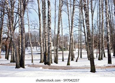 Birch grove in winter park