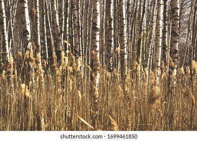 Birch groves in Russia. Beautiful spring landscape