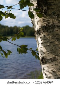 Birch at a lake in Smaland