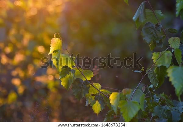 birch-leaf-against-dark-green-600w-16486