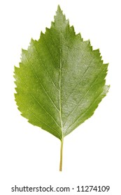 A Birch leaf isolated on white