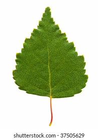 birch leaf isolated on the white