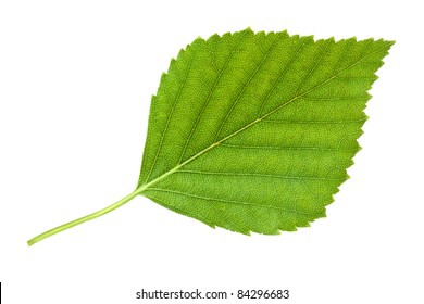 Birch leaf. Isolated on white.