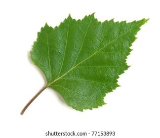 birch leaf on a white background