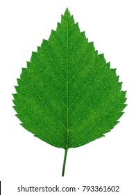 Birch leaf on a white background.