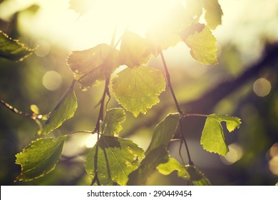 A birch leaves against the sun. Fresh leaves try to tell that the summer is coming after all. Image taken in Finland. Image also has a vintage effect.