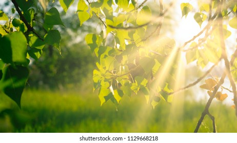 Birch leaves backlit in day light, with copy space beneath