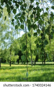 Birch leaves hang from the top behind, in the background a fresh uncut wild meadow and poplar trees.