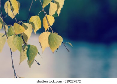 Birch leaves. Image of birch leaves facing the reality called autumn. Image taken during partly sunny day. A lake is behind the leaves. Image has a vintage effect applied.