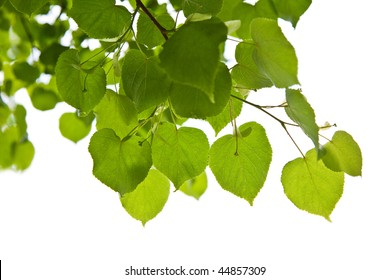 birch leaves isolated