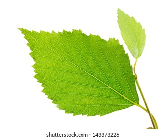Birch leaves isolated on a white background.