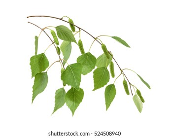 Birch leaves isolated. without shadow