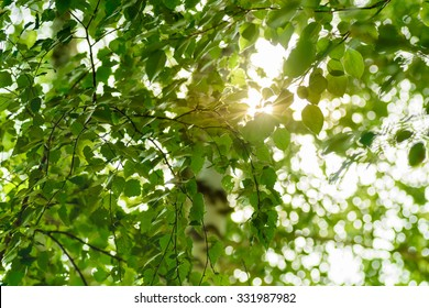 Birch leaves with the sun rays which are making the way through them.