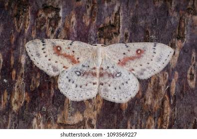 Birch Mocha (Cyclophora albipunctata) moth sitting on tree bark
