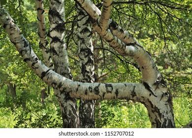 Birch at National Park Karkaraly near Karkaralinsk. Karaganda Oblast. Kazakhstan