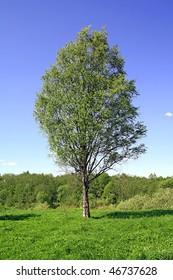 birch on field