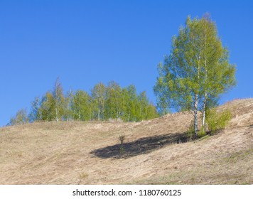 Birch on the mountainside against the backdrop of a birch grove