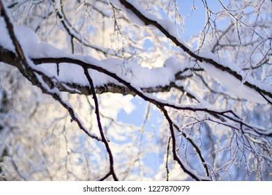 Birch snow winter