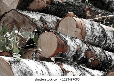 birch spill smooth clean large felling of trees felling under construction rustic